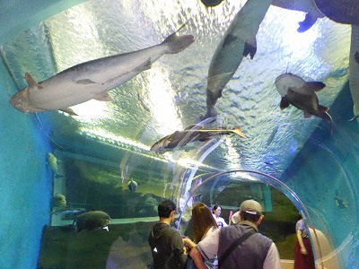 須磨海浜水族園アマゾン館の巨大魚