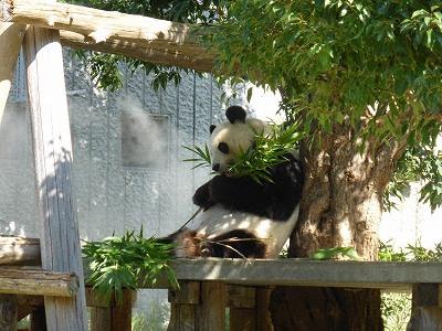 王子動物園のジャイアントパンダのタンタン(中国からの貸与期限2020年7月)