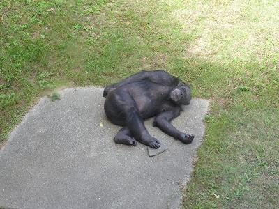 王子動物園のチンパンジー